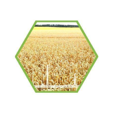 mycotoxins Aflatoxin in feed grain
